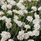 ARMERIA WHITE SEA TRIFT Armeria Maritima Alba - 200 Bulk Seeds