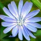 CHICORY Cichorium Intybus - 1,000 Seeds