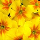 PRIMROSE ENGLISH ACCORD YELLOW Primula Vulgaris - 50 Bulk Seeds