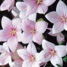 BALLOON FLOWER ROSE Platycodon Grandiflorus - 20 Seeds