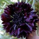 CORNFLOWER BACHELOR'S BUTTON BLACK BALL Centaurea Cyanus - 50 Seeds