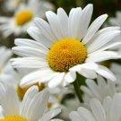 DAISY SHASTA Chrysanthemum Maximum - 500 Seeds