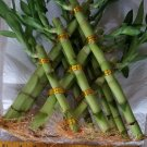 """10"""" Lucky Bamboo  3"""" Tier Plant NWT"""