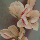 Antique Postcard Flowers Unposted Divided