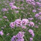 30pcs Verbena Seeds, Horticulture Ornamental Aromatic Flowers Verbena officinalis