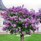 Lilac Seeds 30pcs, Syringa oblata Lindl, Zi Ding Xiang