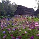 Multicolor Cornflowers Seeds 100pcs Centaurea cyanus L Shi Che Ju 矢车菊