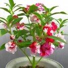 Impatiens Seeds 30pcs Impatiens balsamina L. Feng Xian Hua