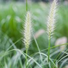 Pennisetum Seeds 30pcs Embankment Sand Prevention Pasture seeds