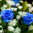 100pcs Blue Rose Seeds Blue Enchantress Rosa chinensis Jacq