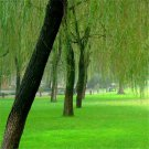 100pcs Willow Tree Seeds, Water Willow, Weeping Willow, Salix babylonica, Plant Seeds