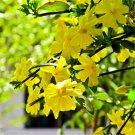 30pcs Winter Jasmine Seeds, Spring, Yellow Jasmine, Gold Belt (Jasminum nudiflorum Lindl.)