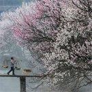 10pcs Apricot Seeds, Almond, Apricot Flower, Fruit Seeds (Prunus armeniaca)
