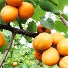 50pcs Apricot Seeds, Almond, Apricot Flower, Fruit Seeds (Prunus armeniaca)