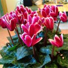 500pcs Cyclamen Seeds, Radish Jellyfish, Rabbit Ear Flower, Flap Lotus (Cyclamen persicum Mill.)
