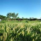 100pcs Pennisetum Seeds, Outdoor Lawn Greening Plants Seeds, (Pennisetum alopecuroides)