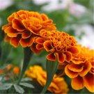 60pcs Marigold Seeds,Flower Plant Seeds,(Tagetes erecta L)