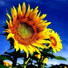 250pcs Sunflower Seeds, Helianthus Seeds, Flower Plant, (Helianthus annuusL.)