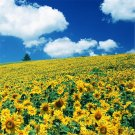 100pcs Sunflower Seeds, Helianthus Seeds, Flower Plant, (Helianthus annuusL.)