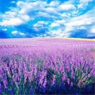 100pcsRomantic Lavender Seeds , Perfume Plant,Lavandula angustifolia Mill, Spirit Vanilla, Vanilla