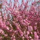 120pcs Flowering Plum Seeds, YuYeMei, Flower Plant Seeds ,(Amygdalus triloba)