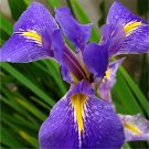 30pcs Iris Seeds,Blue Butterfly, Purple Butterfly, Flat Bamboo Flower (Iris tectorum Maxim)