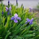 60pcs Iris Seeds,Blue Butterfly, Purple Butterfly, Flat Bamboo Flower (Iris tectorum Maxim)