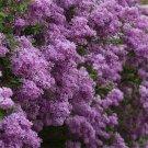 250pcs Lilac Flower Seeds, Flower Plant Seeds, (Syringa oblata Lindl.)