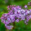 100pcs Lilac Flower Seeds, Flower Plant Seeds, (Syringa oblata Lindl.)
