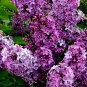 60pcs Lilac Flower Seeds, Flower Plant Seeds, (Syringa oblata Lindl.)