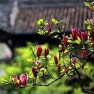Chinese Special Purple Magnolia Seeds 20pcs, Plant Flower Seeds, ZiYuLan (Magnolia liliiflora Desr)