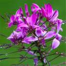 60pcs Cleome Seeds, Spiderflower,Flower Plant Seeds, (Cleome spinosa Jacq.)