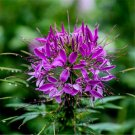 100pcs Cleome Seeds, Spiderflower,Flower Plant Seeds, (Cleome spinosa Jacq.)