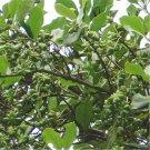 6pcs Anise Seeds, Fructus Anisi Stellati, Herb Plant Seeds, BaJiao, DaHuiXiang, (Illicium verum)