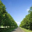 100pcs Bass Tree Seeds, Basswood, Tree Plant Seeds, (Tilia tuan Szynszyla.)