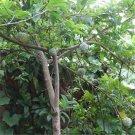 100pcs Sweetsop Seeds, Sakyamuni, Fruit Plant Seeds, (Annona squamosa Linn.)