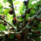 100pcs Mulberry Seeds, Silkworm Food, (Morus alba L.)