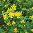 60pcs Wild Cassia Seeds, Herb Plant Seeds, Golden Beans, YeJueMing, (Thermopsislupinoides)