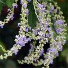 100pcs Vitex Seeds, Vitex Negundo, Herb Shrub Plant Seed