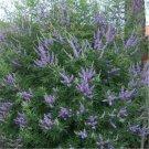 200pcs Vitex Seeds, Vitex Negundo, Herb Shrub Plant Seed