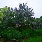500pcs Vitex Seeds, Vitex Negundo, Herb Shrub Plant Seed