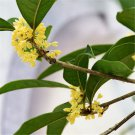 100pcs Osmanthus Seeds, Sweet Osmanthus Flower, Fragrans, Osmanthus Fragrans