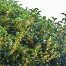 200pcs Osmanthus Seeds, Sweet Osmanthus Flower, Fragrans, Osmanthus Fragrans