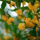 500pcs Osmanthus Seeds, Sweet Osmanthus Flower, Fragrans, Osmanthus Fragrans