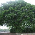 100pcs Paper Mulberry Seeds, Broussonetia Papyrifera, Forest Plant, Bast Can Be Made Of Paper