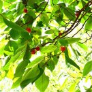 200pcs Paper Mulberry Seeds, Broussonetia Papyrifera, Forest Plant, Bast Can Be Made Of Paper