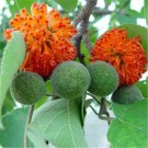 500pcs Paper Mulberry Seeds, Broussonetia Papyrifera, Forest Plant, Bast Can Be Made Of Paper