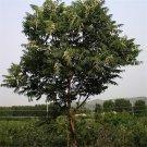 Toon Seeds 500pcs , Toona Sinensis, Leaves Edible Tree