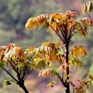 Toon Seeds 100pcs , Toona Sinensis, Leaves Edible Tree