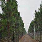 30pcs Pinus Elliottii Seeds, Pinus Elliottii Engelm, Slash Pine, Pine And Cypress Tree Seeds